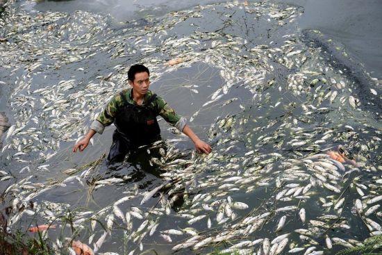 成都鱼塘死鱼2000公斤疑泡菜厂污水所致