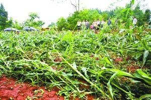 昨日,遭遇暴风冰雹后的华佗村,损毁的玉米倒伏在地里。 重庆晨报记者 甘侠义 摄