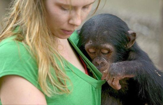 非洲一只2岁大的黑猩猩对女饲养员的胸部产生了兴趣,扒开她T恤衫,偷瞄了好一会。
