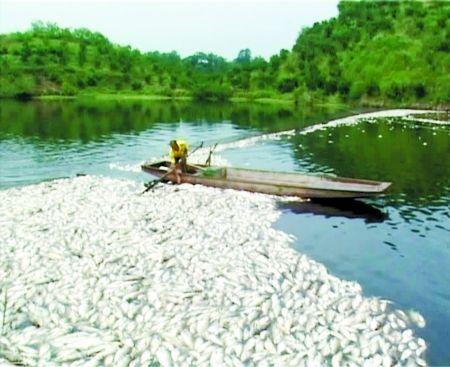 昨日,长寿石堰镇,大量死鱼漂浮在水面