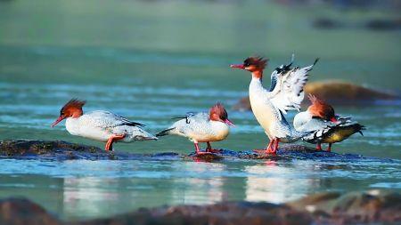 秋沙鸭在水里嬉戏 通讯员 谭文奇 记者 唐浩 摄