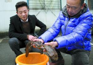 昨日,任启兵(左)将娃娃鱼交给动物园两栖动物饲养员李师傅。