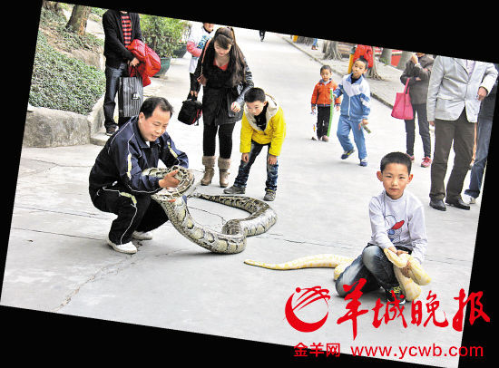 两条蛇一条是重近百公斤的大蟒蛇,一条是罕见的黄金蟒,吸引了众多游客好奇的目光