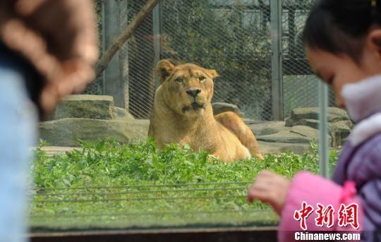 图为杨家坪动物园狮子吸引市民观赏.陈超