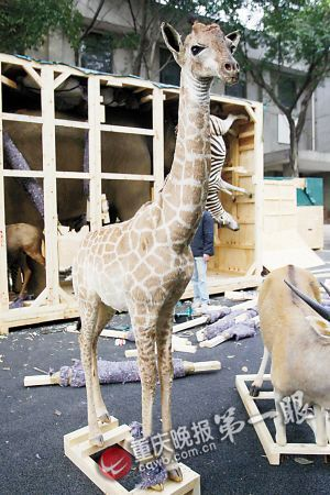 长颈鹿的脚被螺丝钉固定在牢靠的实木上
