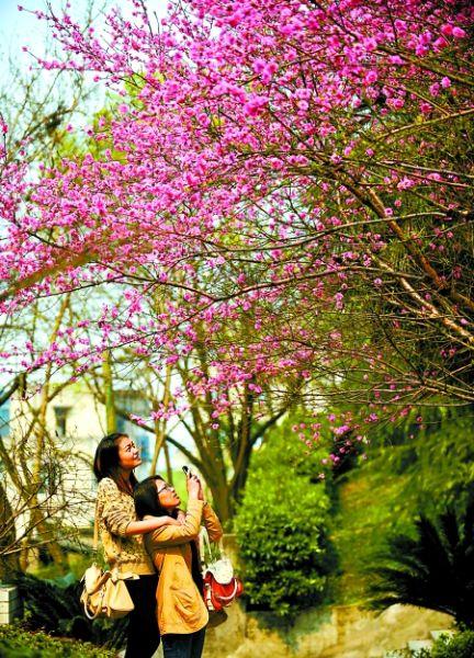 昨日,南岸区重庆邮电学院,市民在欣赏盛开的樱花。