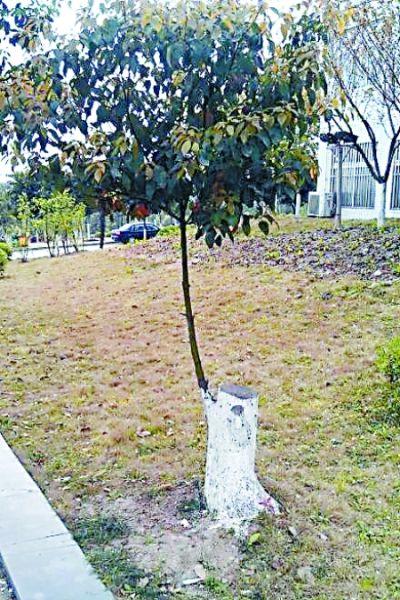 树桩长出茂密树枝 微博图