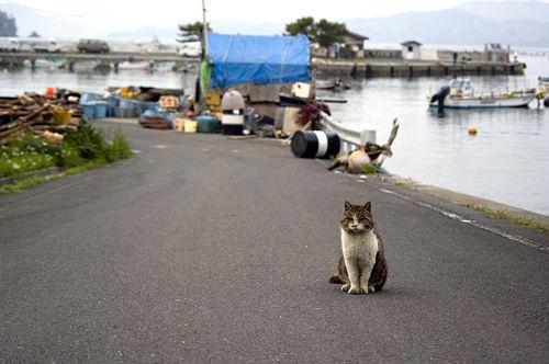 田代岛上的猫