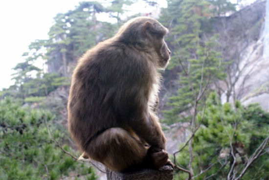 西岭雪山顽猴