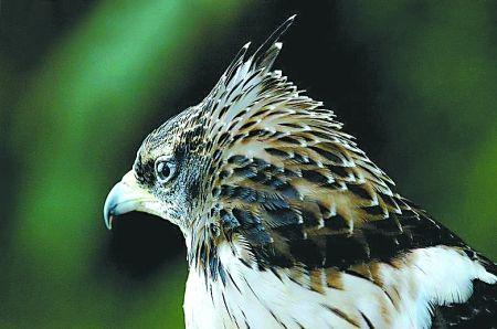 凤头蜂鹰 资料图片