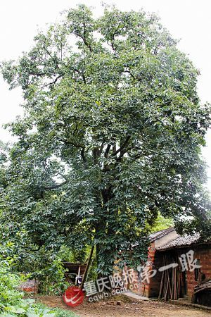 柿子树有300年了