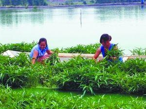 樊敬秀、叶琴在水塘里采摘竹叶菜。