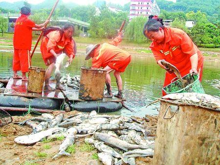昨日,南山黄桷垭涂山湖,环卫工人正在打捞死鱼。
