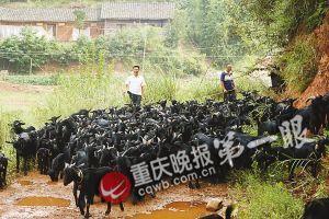 大足黑山羊给农民带来财富