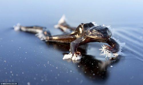 青蛙身上还挂着冰花