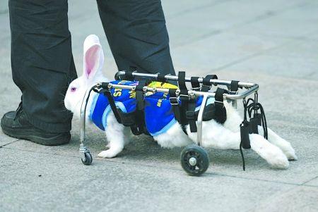 靠支架行走的兔子