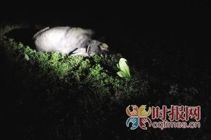 昨日,沙坪坝区梨树湾,发狂的牛被民警击毙,倒在一片洼地里面