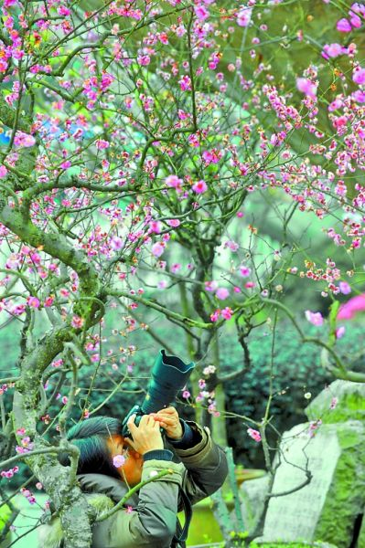 南山樱花节