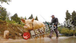 ■骑一段后蒋大爷要下来走一会,让猪也休息一下。