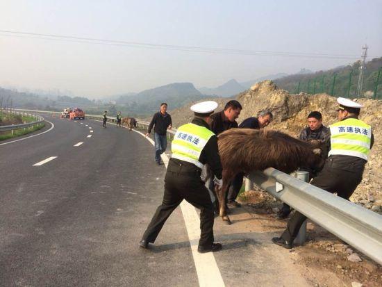 高速公路来了不速客 竟是五头半岁牛犊(图)