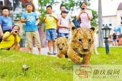 乐和乐都两只满月狮子前日正式露面 这是该景区今年第三次降生小非洲狮
