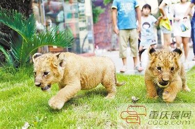 两只小狮子第一次与游客见面。