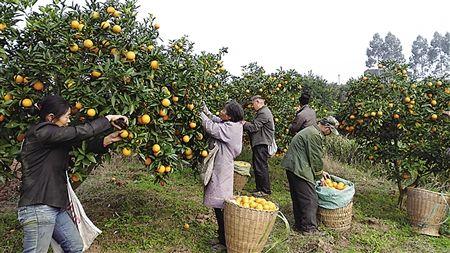 12月5日,重庆市丰都县龙孔镇楠竹柑橘园里果农下树成熟柑橘。