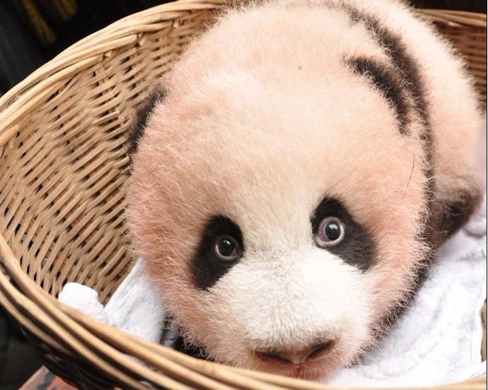 看到了爬在树上的熊猫
