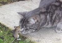 """大胆老鼠""""欺负""""猫"""