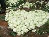 白玫瑰铺满爱情天梯