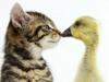 小猫鸭子嬉戏萌照