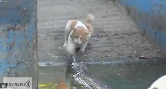 视频:霸气华妃猫不好惹 连甩鳄鱼两巴掌