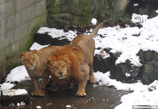 雪球横飞砸狮子