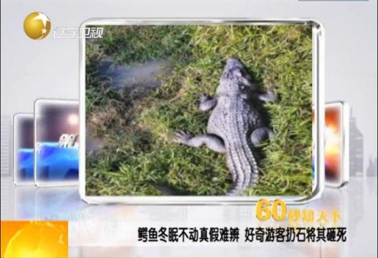 视频:鳄鱼因冬眠一动不动被游客扔石头砸死