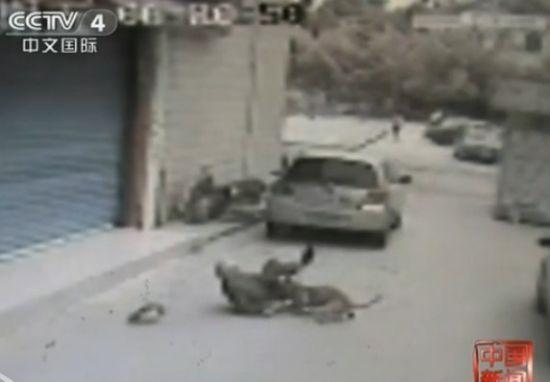 视频:监控拍下老人被自家狗多次撕咬致死