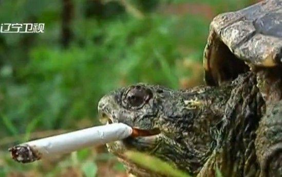 鳄龟难戒抽烟恶习