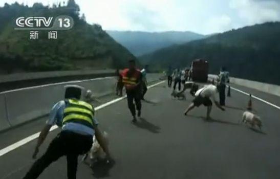 高速路上人猪大战