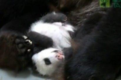 视频:圆仔吃睡依旧憨态萌