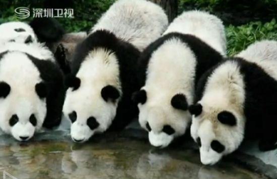 视频:实拍棕色大熊猫超萌一幕