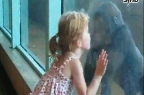 视频:小女孩和大猩猩隔窗亲吻