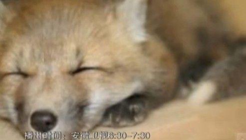 狐狸夜闯民宅男子睡梦中误当成女友
