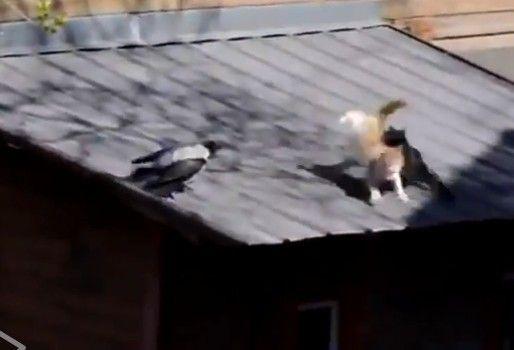 视频:实拍好事乌鸦挑动两只猫掐架