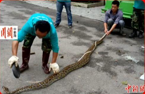 视频:3米长大蟒蛇闯进居民家