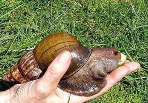 惊现非洲有毒大蜗牛 头有鸡蛋大
