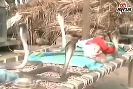视频:实拍4条眼镜蛇守护小宝宝午睡