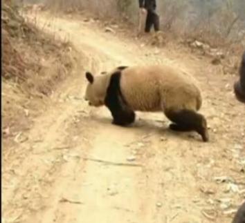 野生大熊猫进村散步 农民拍摄呆萌瞬间