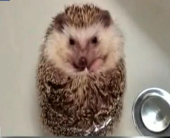 视频:小刺猬不想洗澡 蜷身秀水上漂绝技