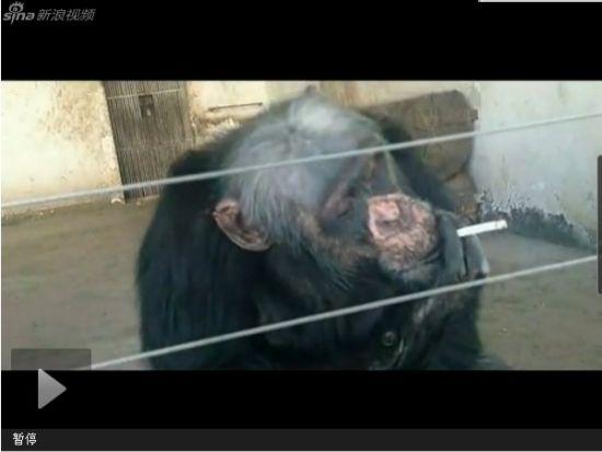 视频:乌市野生动物园大猩猩抽烟吐烟圈