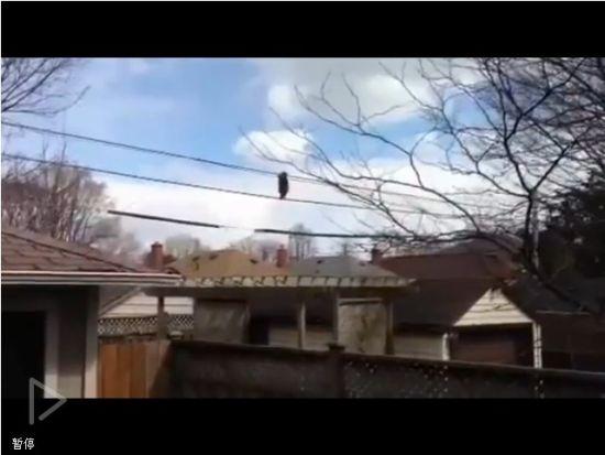 视频:一只在电话线和高压线上走路的小浣熊