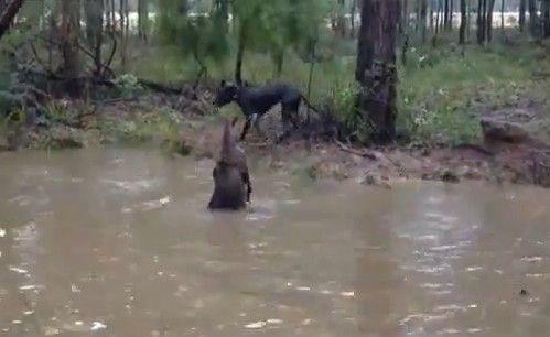 实拍獒犬与袋鼠水中打架现场